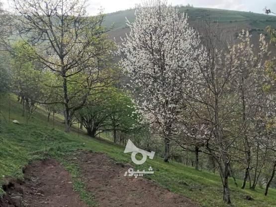 فروش زمین مسکونی 500 متر در رضوانشهر در گروه خرید و فروش املاک در گیلان در شیپور-عکس3