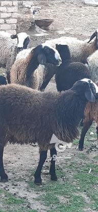 گوسفندنژاد شال در گروه خرید و فروش ورزش فرهنگ فراغت در قزوین در شیپور-عکس1