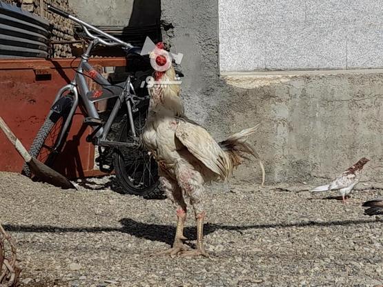 خروس لاری اصل در گروه خرید و فروش ورزش فرهنگ فراغت در همدان در شیپور-عکس2