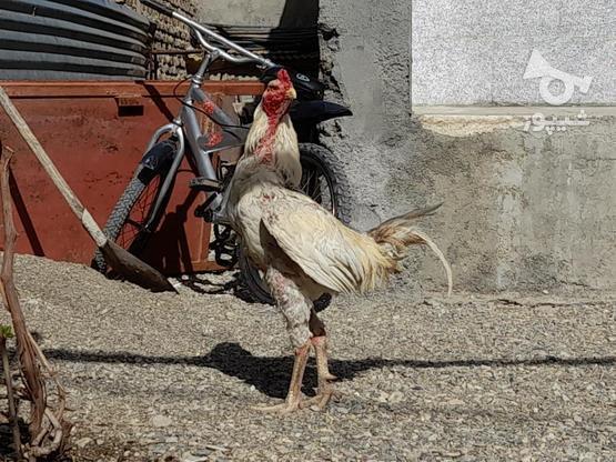 خروس لاری اصل در گروه خرید و فروش ورزش فرهنگ فراغت در همدان در شیپور-عکس3
