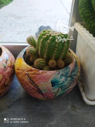 گل کاکتوس دونهی در گروه خرید و فروش لوازم خانگی در آذربایجان غربی در شیپور-عکس2