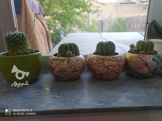 گل کاکتوس دونهی در گروه خرید و فروش لوازم خانگی در آذربایجان غربی در شیپور-عکس1