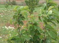 21000 متر باغ و زمین روستای اوزندره در شیپور-عکس کوچک