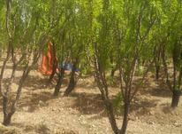 باغ بادام با آب در حوالی پل زمانخان در شیپور-عکس کوچک