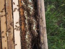 زنبورعسل قزوین در شیپور