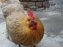 مرغ گمشده. در شیپور