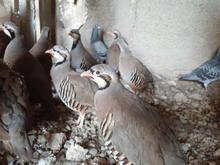 کبک تخم گذار در شیپور