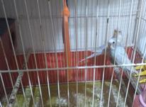 مرغ عشق رنگ خاص در شیپور-عکس کوچک