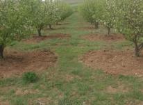 باغ سیب زار در شیپور-عکس کوچک