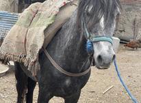 اسب نریان زیبا در شیپور-عکس کوچک