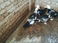 اردک اسرائیلی در شیپور-عکس کوچک