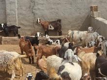فروش گله میشی و بز سالم سالم در شیپور
