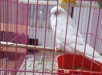 مرغ عشق انگلیسی در شیپور-عکس کوچک