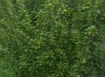 باغ کشاورزی راوندجاده سبزه نگار در شیپور-عکس کوچک