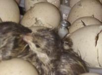 تخم کبک نطفه دار . کبک یک ماهه در شیپور-عکس کوچک