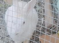 خرگوش چشم قرمز سفید ولکه دار در شیپور-عکس کوچک