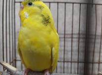 مرغ عشق نر بالغ در شیپور-عکس کوچک