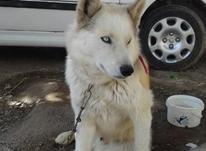 سگ هاسکی چشم یخی در شیپور-عکس کوچک