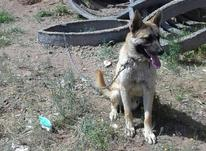 سگ نژاد مالینیوز یک ساله در شیپور-عکس کوچک