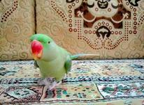 شاه طوطی سخنگو در شیپور-عکس کوچک