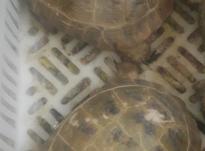 لاکپشت صحرای در شیپور-عکس کوچک