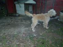 سگ.پشمالو گمشده در شیپور-عکس کوچک