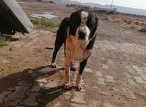 سگ گله رمه تاز به در شیپور-عکس کوچک