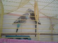 مرغ عشق با قفس در شیپور-عکس کوچک