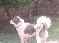سگ گوسفندی اصیل در شیپور-عکس کوچک