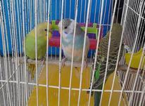 فروش سه عدد مرغ عشق جوان در شیپور-عکس کوچک