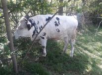 یه راس گاوساله جنس ماده نژاد مونت بلیارد در شیپور-عکس کوچک