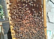 زنبور عسل قوی در شیپور-عکس کوچک