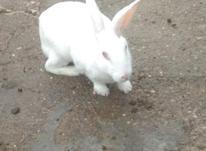خرگوش ماده در شیپور-عکس کوچک