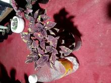 فروش گل زیبای حسن یوسف در شیپور