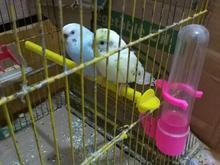 مرغ عشق رنگی در شیپور