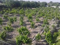 فروش باغ 850 متری انگور داربستی  در شیپور