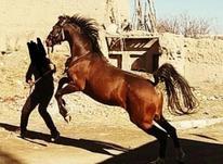 اسب کرد بسیار پرخون در شیپور-عکس کوچک