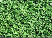 تولکی (نشا) گوجه دونه 250 در شیپور