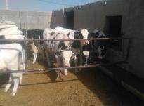 فروش گوساله هلشتاین 9 ماهه در شیپور-عکس کوچک