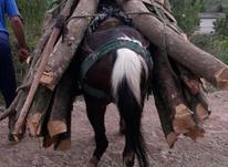 اسب نریان جوان در شیپور-عکس کوچک