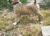 توله سگ خراسانی ماده در شیپور-عکس کوچک