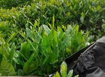چای بهاره ایرانی در شیپور-عکس کوچک
