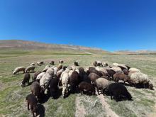 گوسفند داشتی در شیپور