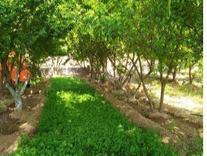 زمین کشاورزی در شیپور