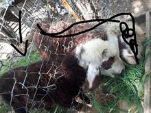 گوسفند افشار در شیپور