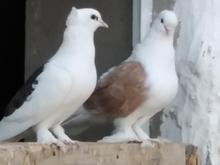 فروش تعدادی کبوتر دو کت و یک کت در شیپور