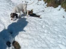 سگ شکاری پویینتر اصل در شیپور