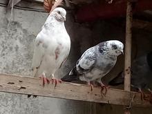 کبوتر.پرشی از 80 به بالا در شیپور
