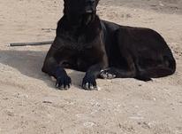 ماده سگ سرابی در شیپور-عکس کوچک
