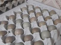 تخم قرقاول در شیپور-عکس کوچک